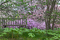 Woodland bench with Mayapples overlooking spring flowering Magnolias and Rhododendron 'Conewago'- Winterthur Garden