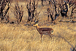 Grants Gazelle, Hwange Natl. Park