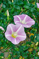 SEA BINDWEED Calystegia soldanella (Convolvulaceae) Creeping. Prostrate perennial that grows on sand dunes, and occasionally on stabilised shingle. FLOWERS are 3-5cm across, funnel-shaped and pink with 5 white stripes; on slender stalks (Jun-Aug). FRUITS are capsules. LEAVES are kidney-shaped, fleshy, up to 4cm long and long-stalked. STATUS-Widespread on coasts but locally common only in S.