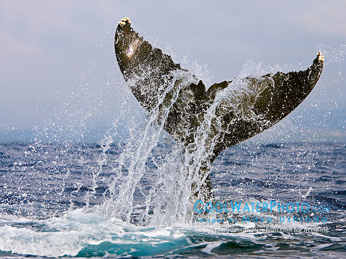 Humpback Whale lobtailing or tail-slapping, Megaptera novaeangliae, Hawaii, Pacific Ocean.