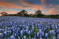 Texas Bluebonnet Images and Pictures