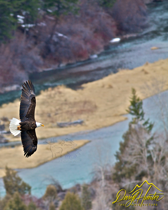 Bald Eagle, soaring, high, above the , Snake River, Ririe, Idaho