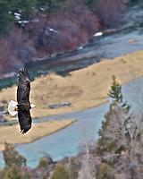 Bald Eagle, soaring, high, above the , Snake River, Ririe, Idaho