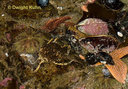 1C34-521z  Common Spider Crab camouflaged among tide pool animals, Libinia emarginata