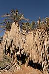 T-100 Date Palm in Ein Zin