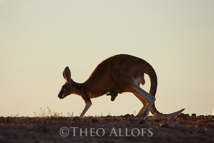 Australia,  NSW, Sturt National Park; red kangaroo female with joey in pouch hopping (Macropus rufus); the red kangaroo population increased dramatically after the recent rains in the previous 3 years following 8 years of drought