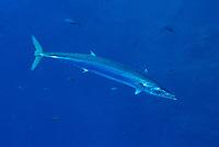 Wahoo, Acanthocybium solandri, at Roca Partida, Revillagigedo Archipelago, Mexico, Pacific Ocean