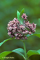 MK17-011m  Milkweed - flower - Asclepias syriaca