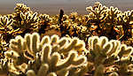 These Cholla cacti are backlit by sunrise in the Cholla Catus Garden, Joshua Tree National Park, California, USA. Photo by Gus Curtis.