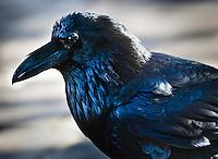 A stately Raven.