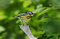 Magnolia warbler (Dendroica magnolia) male in breeding plumage rests in mixed forest along Lake Erie shoreline near Canada and USA border during annual spring migration northward to summer nesting grounds. About 74% of Magnolia Warblers in North America breed within Canada's boreal forest.