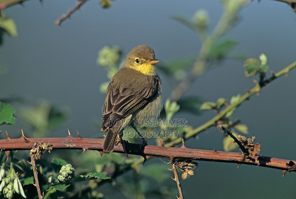 Melodious Warbler, Hippolais polyglotta,adult, Scrivia River, Italy, Europe