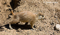 0601-1016  Young Black-tailed Prairie Dog Pup, Cynomys ludovicianus  © David Kuhn/Dwight Kuhn Photography
