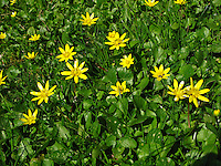 Scharbockskraut, Scharbocks-Kraut, Scharbockkraut, Frühlings-Scharbockkraut, Ranunculus ficaria, Ficaria verna, Lesser Celandine, Pilewort, Ficaire