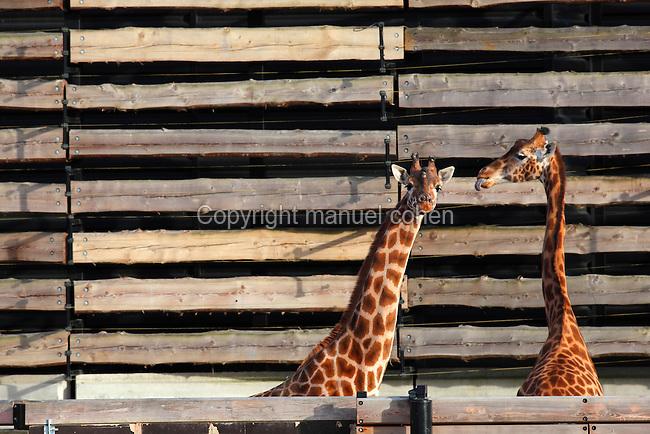 Girafes dans leur enclos extérieur provisoire, new Parc Zoologique de Paris, or Zoo de Vincennes, (Zoological Gardens of Paris, also known as Vincennes Zoo), Museum National d'Histoire Naturelle (National Museum of Natural History), 12th arrondissement, Paris, France. Picture by Manuel Cohen