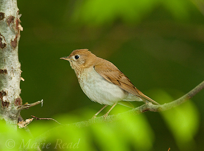 Veery (Catharus fuscescens), New York, USA