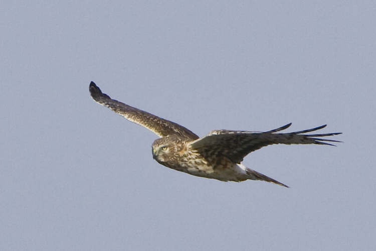Northern Harrier soaring