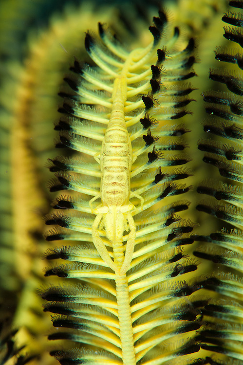 An undescribed yellow commensal shrimp (probably Laomenes sp.) on crinoid, Cenderwasih Bay, West Papua
