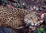 jaguar eating meat in Banos , Ecuador