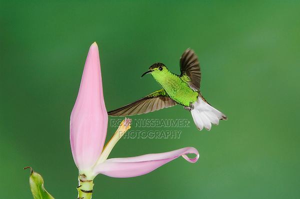 Coppery-headed Emerald, Elvira cupreiceps, male in flight on Ornamental Banana plant flower(Musa velutina), Central Valley, Costa Rica, Central America