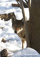 0221-1009  Critically Endangered Red Wolf in Snow, Canis rufus (syn. Canis niger)  © David Kuhn/Dwight Kuhn Photography.