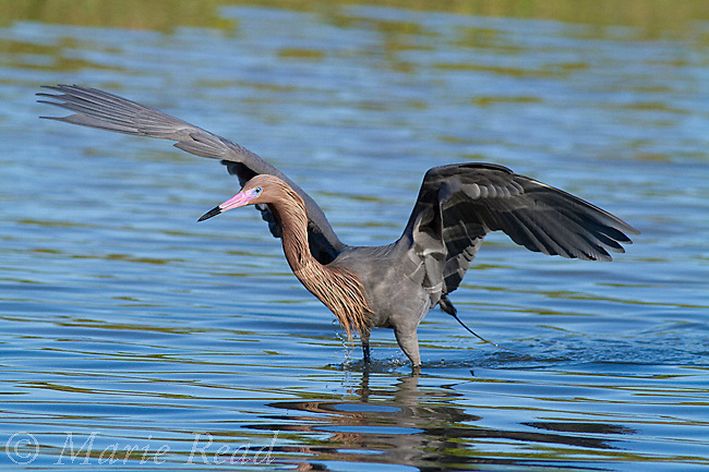 Reddish Egret (Egretta rufescens), with raised wings during foraging behavior, Fort DeSoto Park, Florida, USA