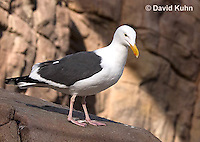 1128-1006  Western Gull, Larus occidentalis  © David Kuhn/Dwight Kuhn Photography