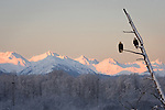 Composite of a soaring Bald Eagle, over a landscape scene with 2 perched Bald Eagles