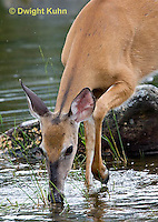 MA11-564z  Northern (Woodland) White-tailed Deer eating pond plants, Odocoileus virginianus borealis