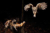 an eastern screech owl flying towards a mouse