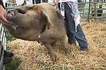 Oxford Sandy Black pig in pen, Suffolk Smallholders annual show, Stonham Barns, Suffolk, England, July 2008