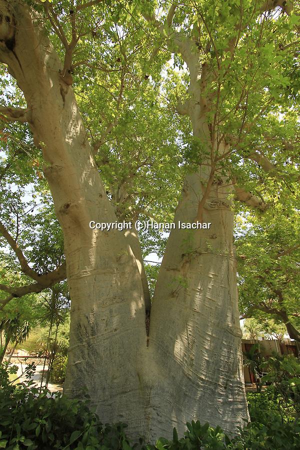 Israel, Dead Sea valley, Baobab tree in Kibbutz Ein Gedi