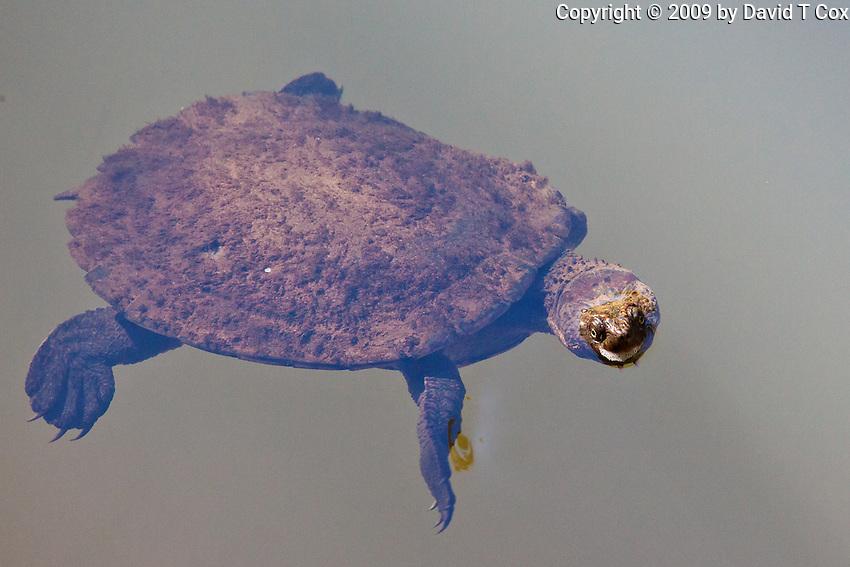 Eungella turtle, Eungella NP, Queensland, Australia