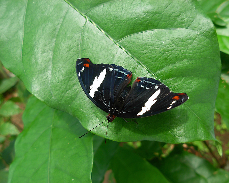 Female Grecian Shoemaker full-winged sitting on a green leaf showing white banding and red markings.