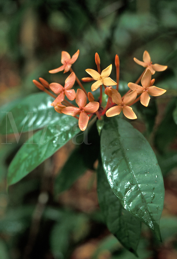Flowers of Ixora sp of Rubiaceae family, a shrub in undergrowth of tropical rain forest, Lambir Hills National Park, Malaysia, Borneo, Sarawak