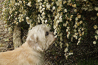 Mustard female dandie dinmont Terrier sniffin a bush with white flowers in a Park. Photographed in profile