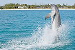 Grand Bahama Island, The Bahamas; a Common Bottlenose Dolphins (Tursiops truncatus) performing a backwards tail walk at the water's surface