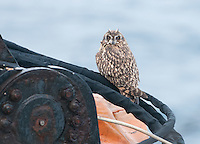 Short eared owl on a container ship south of the Aleutian Islands.