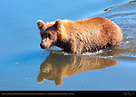 Alaskan Coastal Brown Bear Crossing Silver Salmon Creek, Lake Clark National Park, Alaska