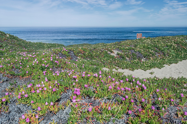 USA, CA, Point Reyes National Seashore, Ice Plant Blooming at Point Reyes Beach