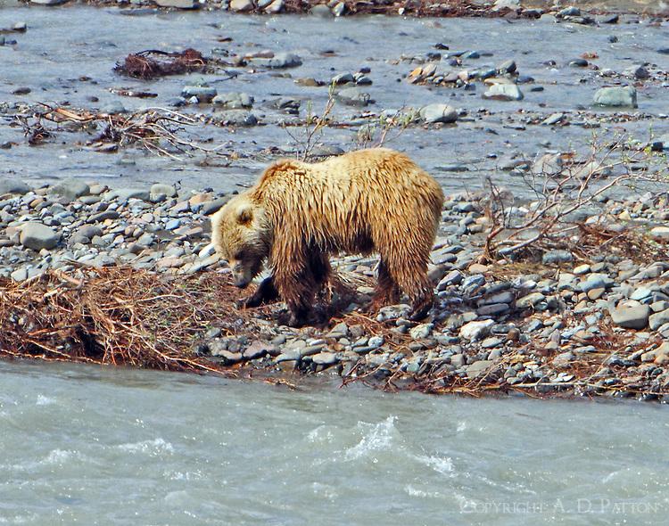 Brown bear digging in gravel bar, no fish here