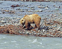 Brown bear digging in gravel bar, no fish here
