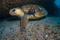loggerhead sea turtle, Caretta caretta, resting under shipwreck at Curtin Artificial Reef shipwreck, Moreton Bay Marine Park, Brisbane, Queensland, Australia, South Pacific Ocean