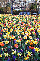 The Dallas Arboretum comes alive with masses of colorful tulips and other spring bloomers in March of each year.