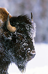 Portrait of a bison with snow and frost on its head in Yellowstone National Park, Wyoming.