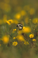 Northern Bobwhite, Colinus virginianus,male in wildflowers, Rio Grande Valley, Texas, USA