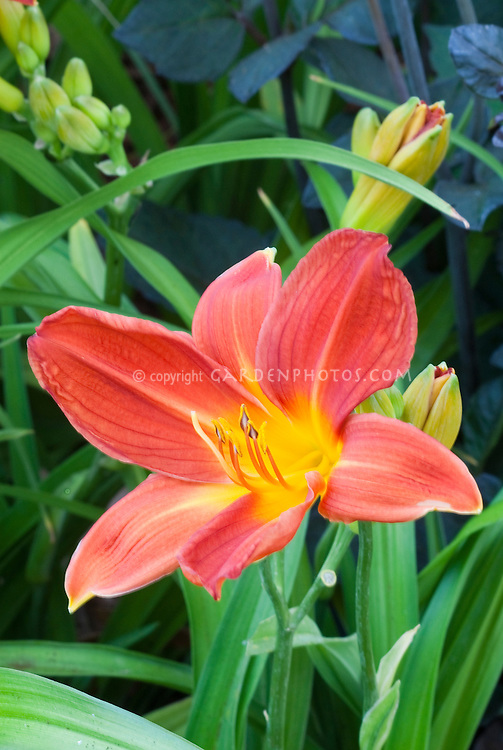 Red Hemerocallis Buzz Bomb daylily