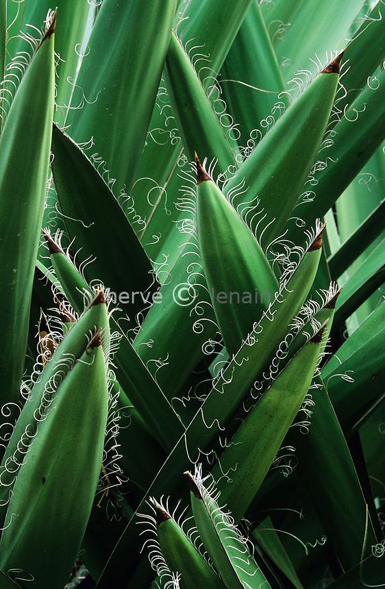 06/ Jardin botanique &quot;Les Cèdres&quot;<br /> Dans le &quot;jardin mexicain&quot; : Yucca carnerosana<br /> (or.= Taxao-Mexique)