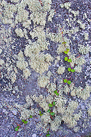 Various species of lichens and Partridge Berry (Mitchella repens) on a boulder face; Isle Royale National Park, MI