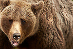 Wild Brown Bears